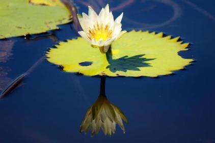 Belizean Lily